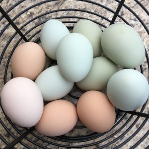 Basket of colored eggs laid by different breeds of chickens